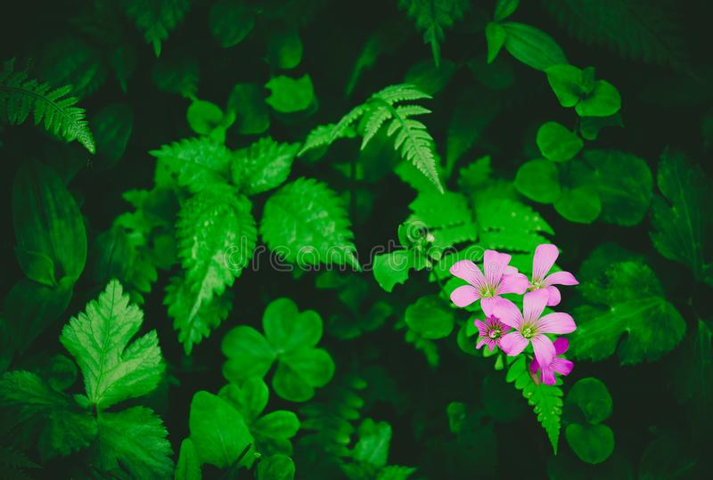 H?rliga l?sa blommor, grupp av mycket sm? ljusa purpurf?rgade blommor i skogen med v?xt av sl?ktet Trifoliumbladet, ormbunke och  arkivfoto