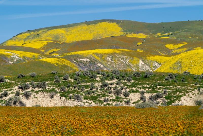 Härliga lager av vildblommor i Carrizo plattar till den nationella monumentet under en superbloom i Kalifornien royaltyfri foto