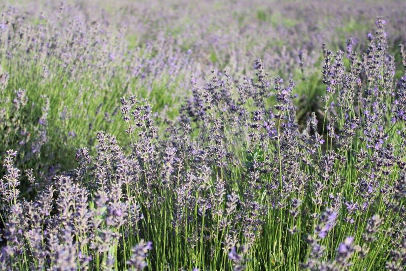 Härliga lavendlar i en trädgård arkivfoto
