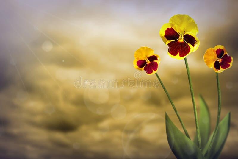 Härliga levande vittrockviolets med tomt på vänstersida på kulör himmel med molnbakgrund Blom- vår eller sommarblommabegrepp arkivfoto