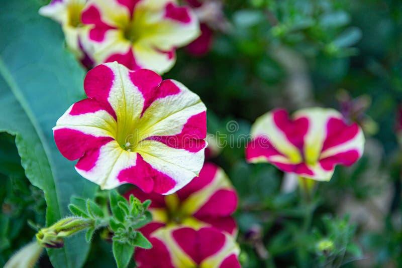 Härliga Lila-rosa färger petuniablommor Den f?rgrika petunian blommar t?tt upp arkivbild
