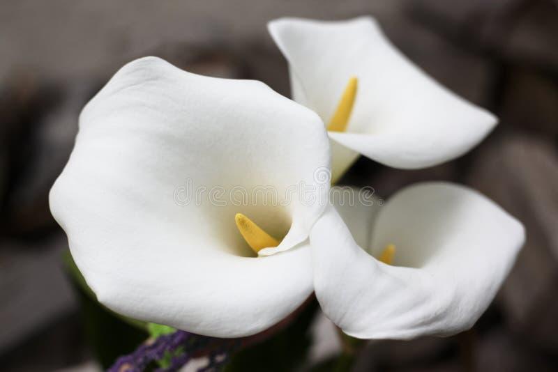 Härliga lilly blommor fotografering för bildbyråer