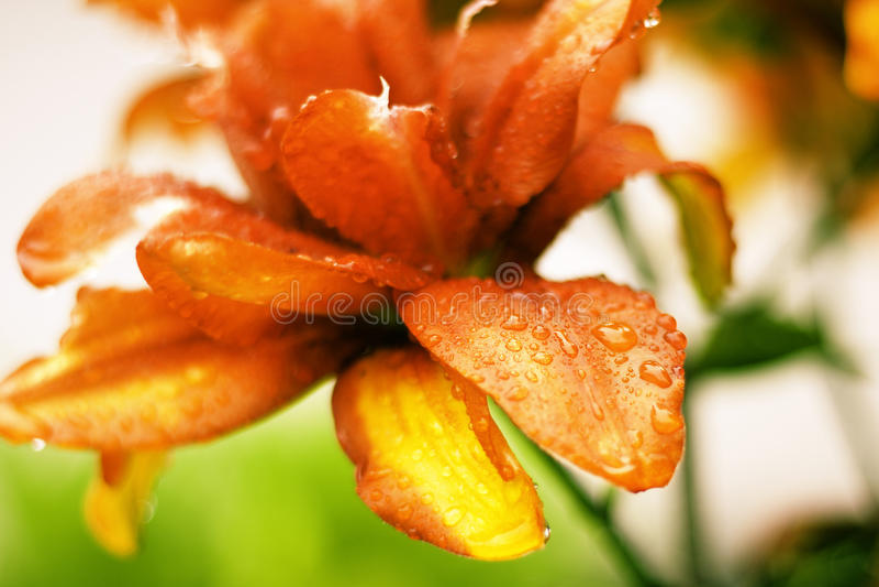 Härliga Lily Flowers Wallpaper royaltyfri foto