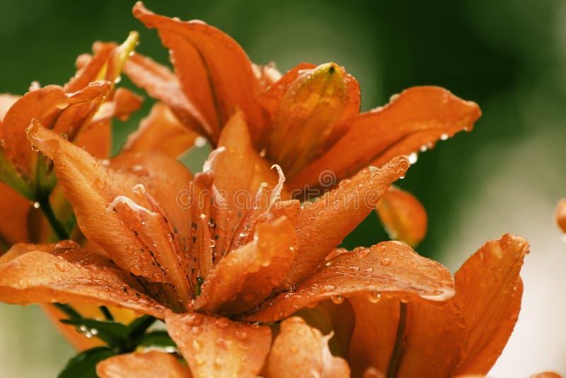 Härliga Lily Flowers Wallpaper royaltyfri bild