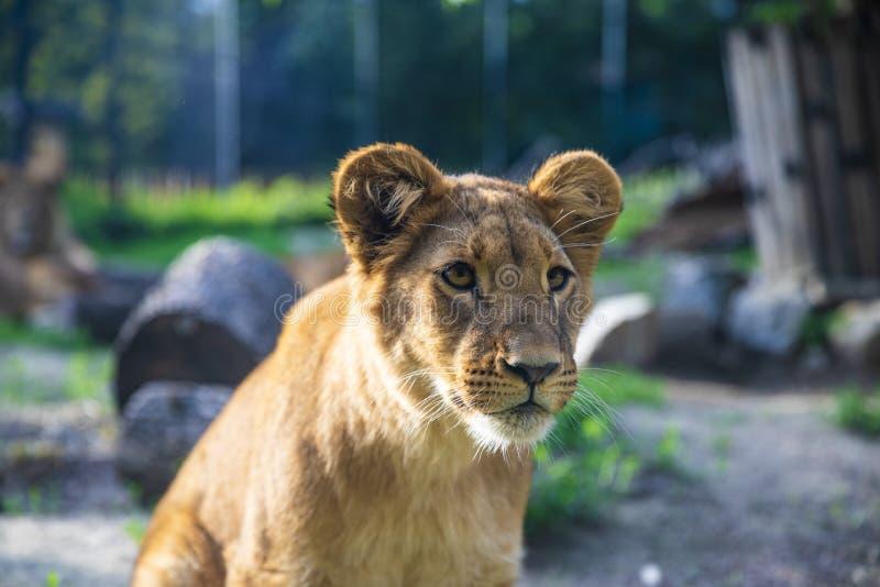 Härliga Lion Cub Focusing hans ögon i avstånd royaltyfria foton