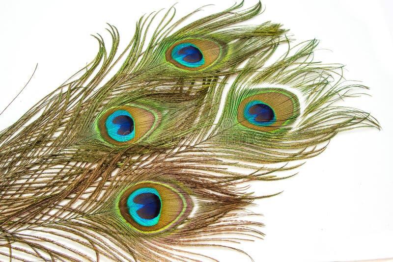 Härliga livliga påfågelfjädrar royaltyfri bild