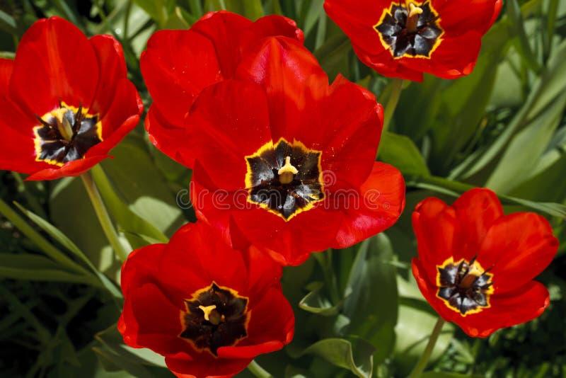 Härliga ljusa blommor av tulpan arkivfoto