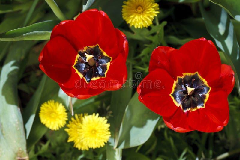 Härliga ljusa blommor av tulpan arkivfoton