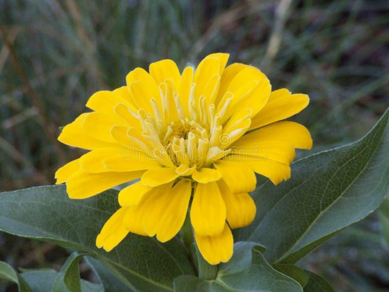 Härliga ljusa gula Gerber Daisy Blazing i sommarsolen arkivfoto