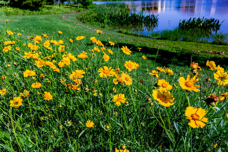 Härliga ljusa gula Lanceleaf Coresopsis vildblommor i en Fi royaltyfri fotografi