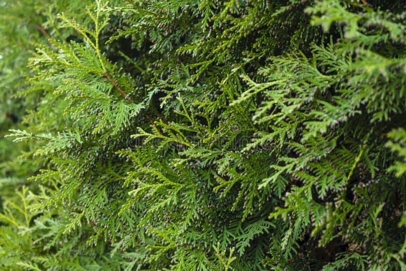 Härliga ljusa vintergröna filialer av thujaen, vårdag wallpaper royaltyfria foton