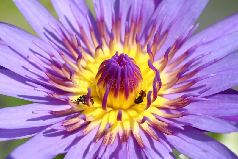 Härliga Lotus, övre blomma för purpurfärgat lotusblommacarpelslut, slut för Lotus blomma upp, Lotus blomningnatur royaltyfri foto