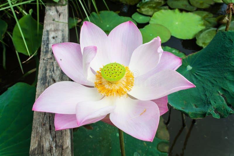 Härliga Lotus Flower (Nelumbosp ) i ett damm arkivfoto