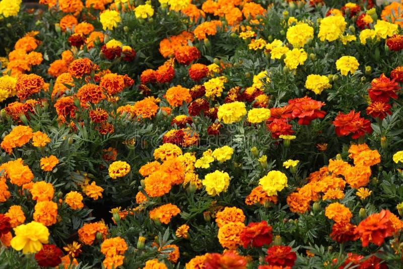 Härliga mång- färgringblommablommor i trädgård royaltyfria bilder