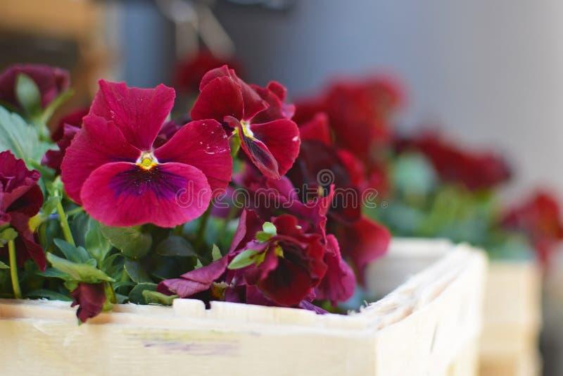 Härliga mörka burgundy röda altfiolblommor i korg royaltyfri fotografi