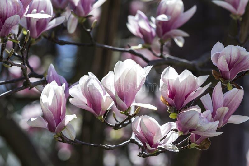 härliga magnolias arkivfoto