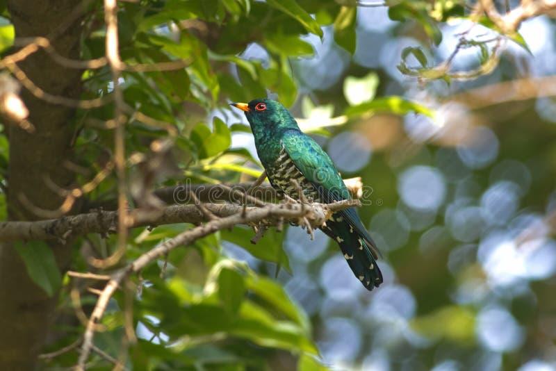 Härliga manliga fåglar för asiatEmerald Cuckoo Chrysococcyx maculatus av Thailand royaltyfria foton
