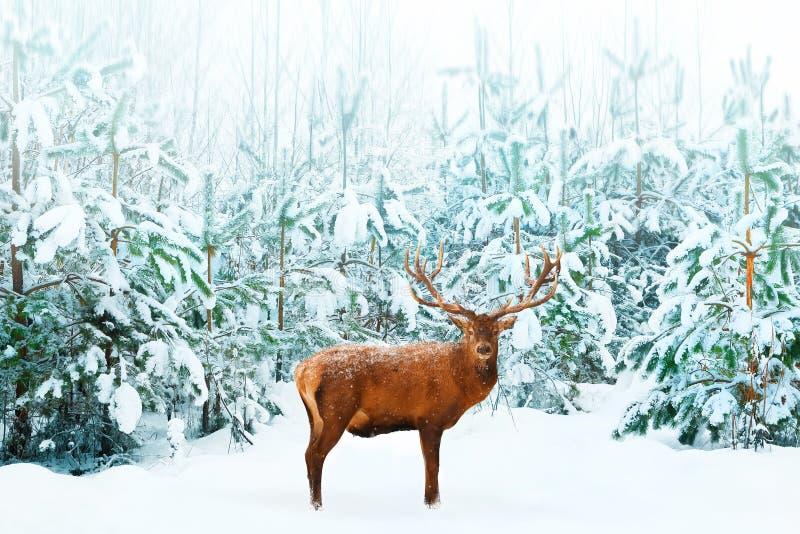 Härliga manliga nobla hjortar och julgranen i det insnöat vinterskogen övervintrar naturlig bakgrund bakgrundsjulbild över röd sa royaltyfria foton