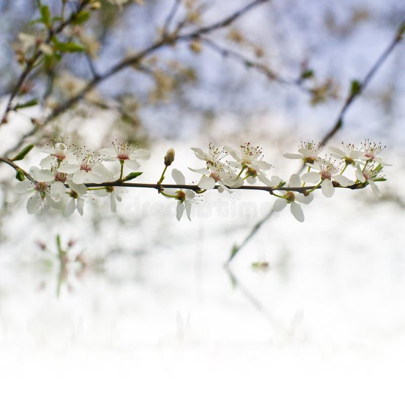 Härliga mjuka glade trädblommor gränsar, den blommande naturen, den första blomningen, den soliga dagen, den naturliga gränsen, b royaltyfri bild