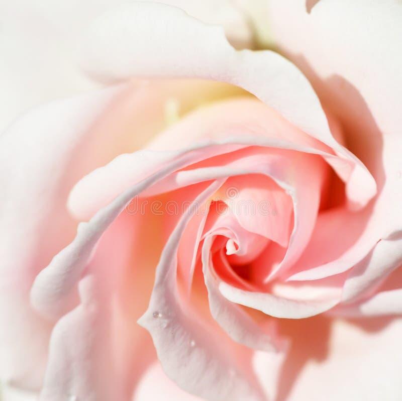 Härliga mjuka rosa färger steg med en droppe av vatten arkivbilder