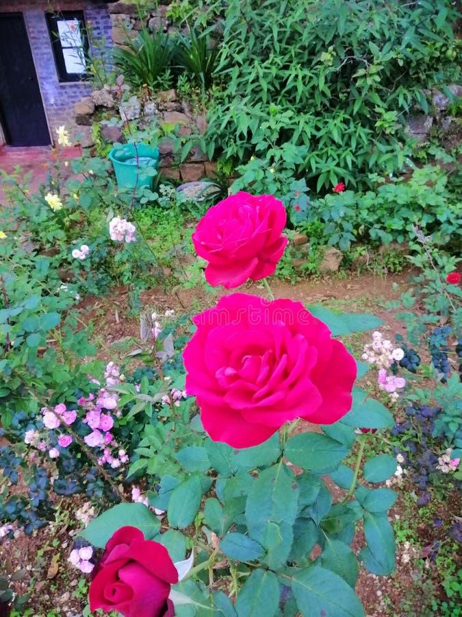 Härliga Natura röda Rose Flower i trädgård arkivfoto
