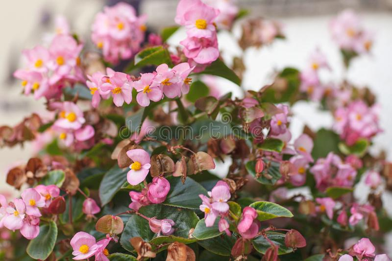 Härliga naturliga rosa begoniablommor Full blom i den frodiga begoniablommaträdgården arkivbild