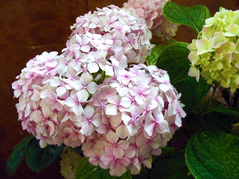 Härliga naturliga rosa vanlig hortensiabollblommor fotografering för bildbyråer