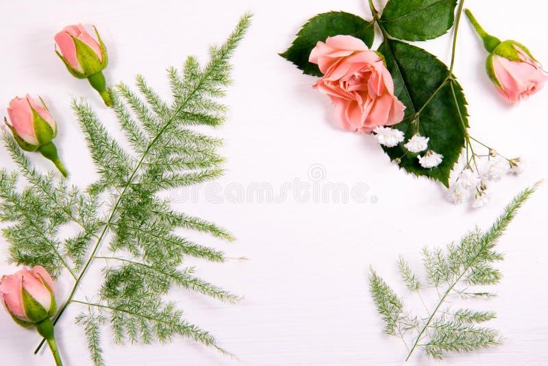 Härliga nya blommor av en roskamomillormbunke på en vit bakgrund med ett ställe för inskriften arkivfoto