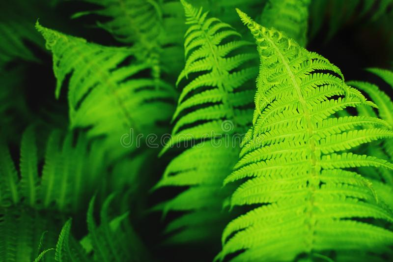 Härliga nya gröna ormbunkesidor royaltyfria foton