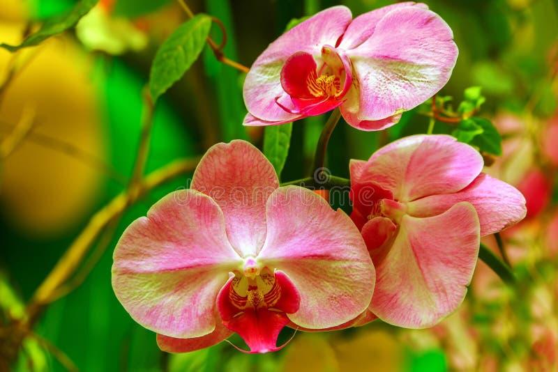 Härliga och eleganta rosa orkidér i en tropisk trädgård royaltyfria bilder