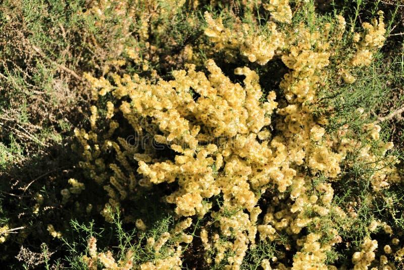Härliga och färgrika SalsolaOppositifolia blommor under solen i höst royaltyfri fotografi