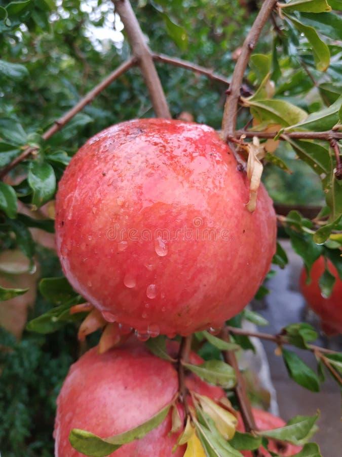 Härliga och mogna granatäpplen arkivbild