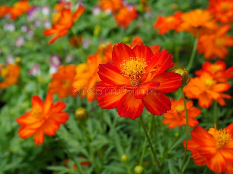 Härliga orange kosmosblommor royaltyfria bilder