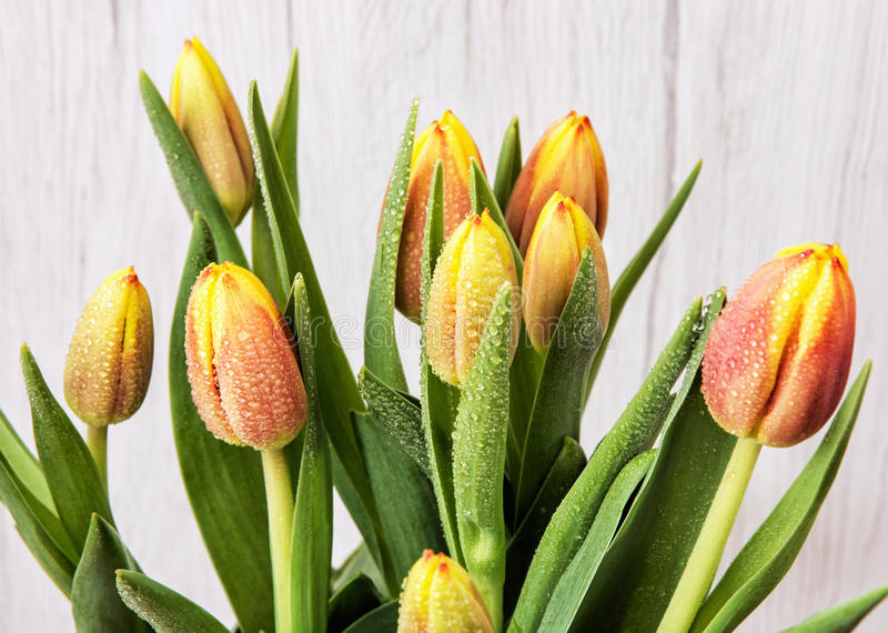 Härliga orange tulpan med dagg, snittblommor royaltyfri foto