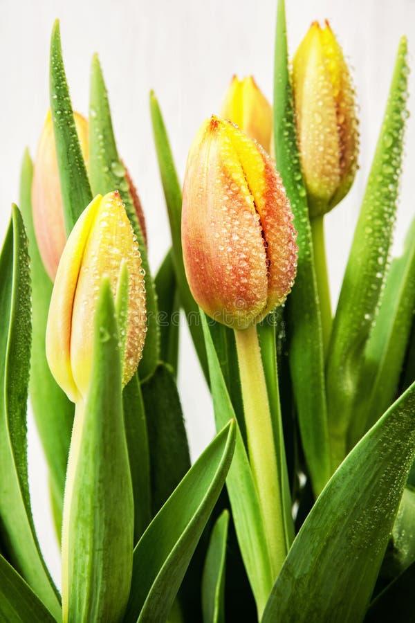 Härliga orange tulpan med dagg, symbol av våren arkivbild