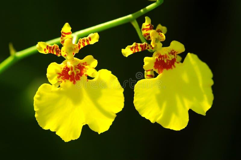 härliga orchids arkivfoton