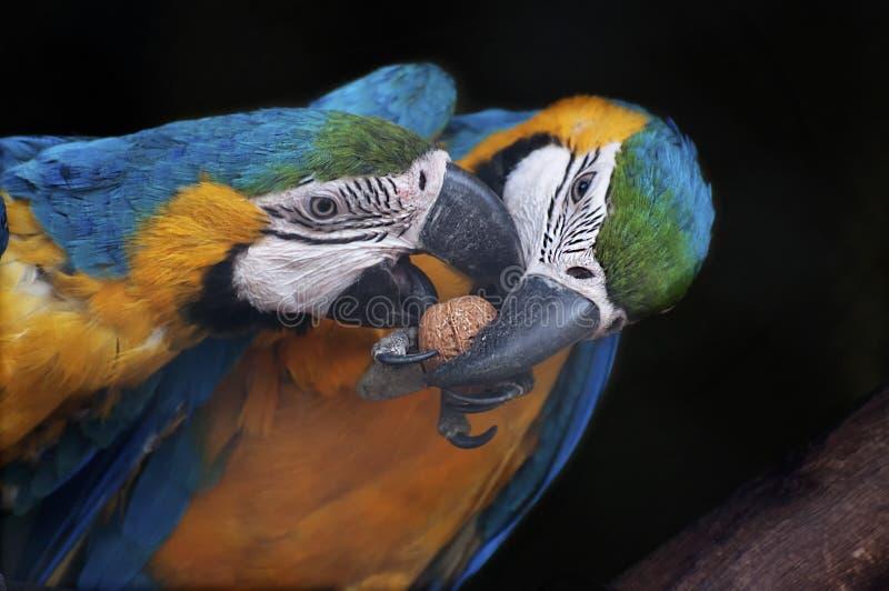 Härliga par av blått- och gulingaran, Indien fotografering för bildbyråer