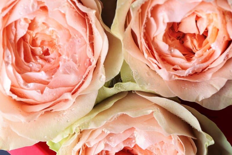 Härliga peachy rosor, closeup royaltyfria foton