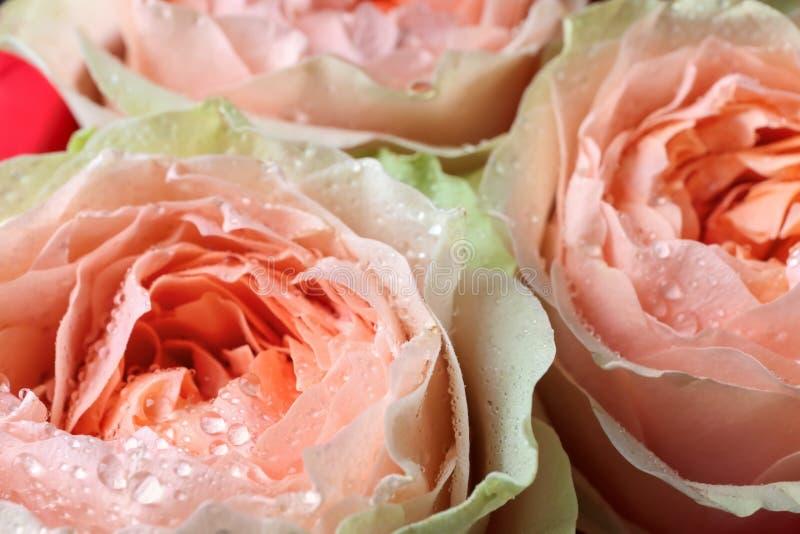 Härliga peachy rosor, closeup arkivbild