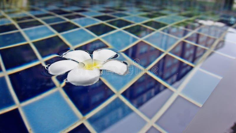 Härliga Plumeriablommor som svävar på simbassängbakgrund royaltyfria foton