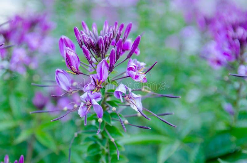 Härliga purpurfärgade alpina blommor royaltyfri bild