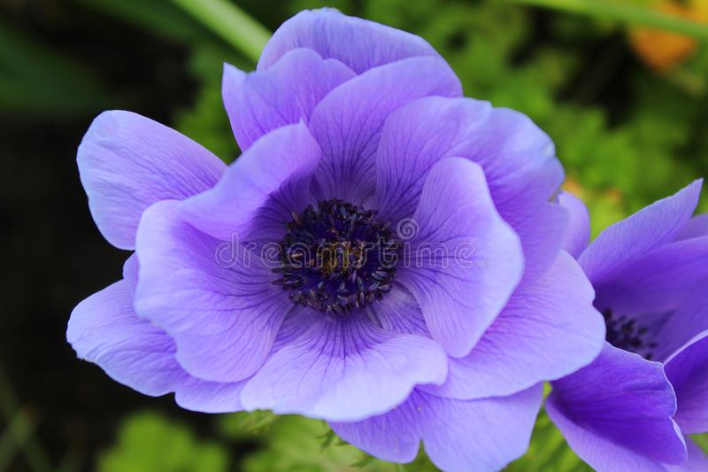 Härliga purpurfärgade Anemone Coronaria Flower royaltyfri fotografi