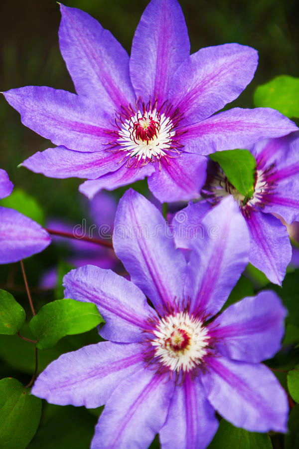 Härliga purpurfärgade blommor av klematiers över grön bakgrund close upp royaltyfri fotografi