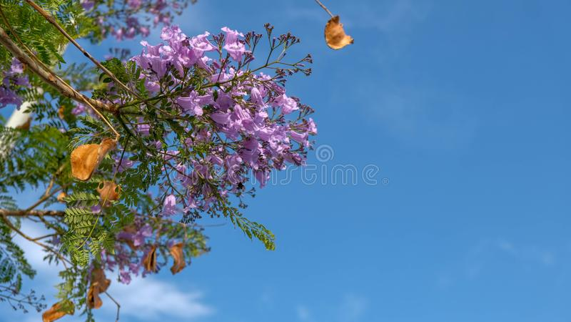 Härliga purpurfärgade blommor av vändkretsjakarandaträdet på blå himmel arkivfoton