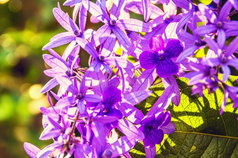 Härliga purpurfärgade kransvinrankablommor royaltyfria bilder