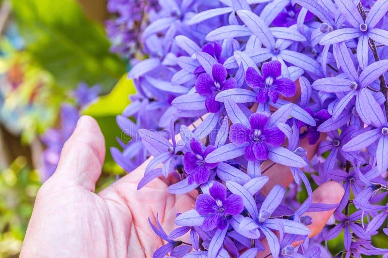Härliga purpurfärgade kransvinrankablommor arkivbild