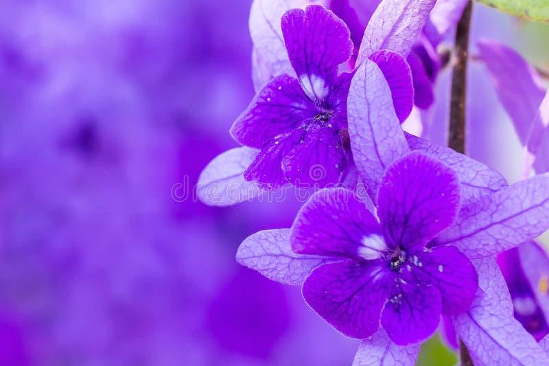 Härliga purpurfärgade kransvinrankablommor arkivfoton