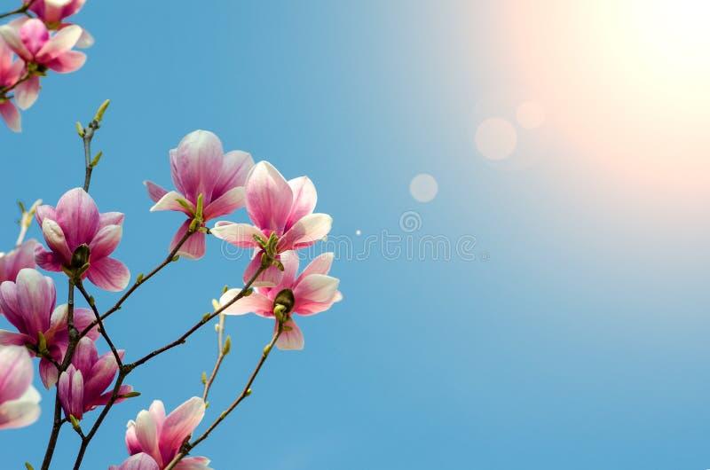 Härliga purpurfärgade magnoliablommor blomstrar på våren säsong på trädet med bakgrund för blå himmel och solljusstrålcloseupen royaltyfri foto