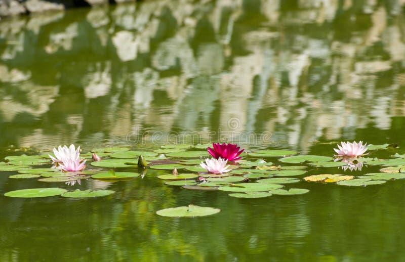 Härliga purpurfärgade näckrors som svävar på en sjö royaltyfria bilder