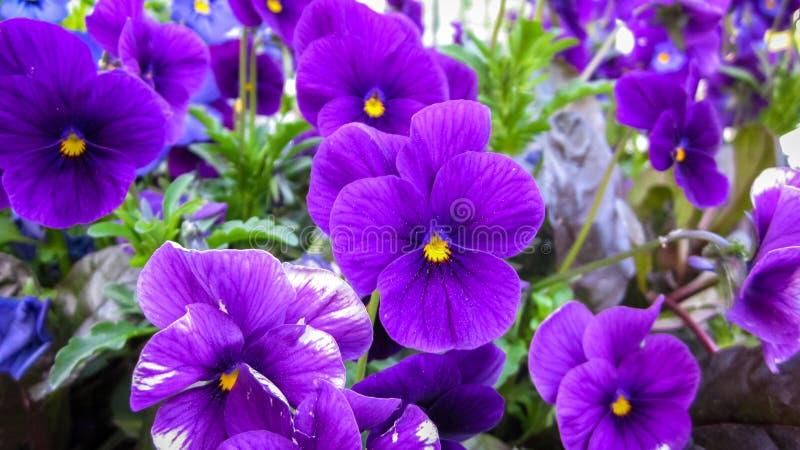 Härliga purpurfärgade Pansies royaltyfri foto